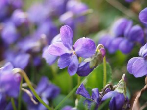 イタリア語の viola と日本語の「紫」