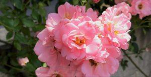 イタリア語のrosaと日本語の「ピンク」